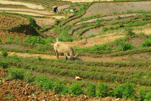 Ox in the rice fields in the mountains of Sapa, Vietnam